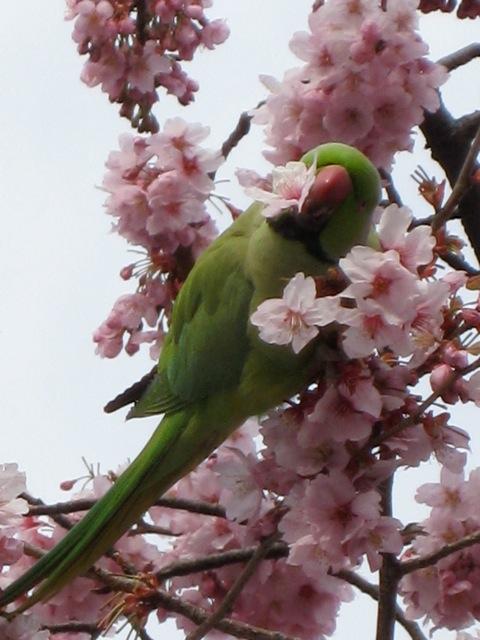 """""""Parrots in Tokyo"""""""